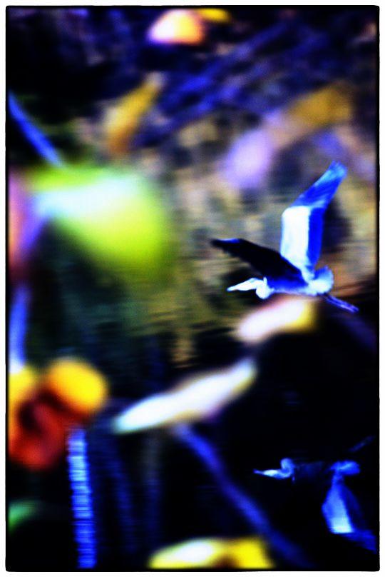 loiseau-bleu
