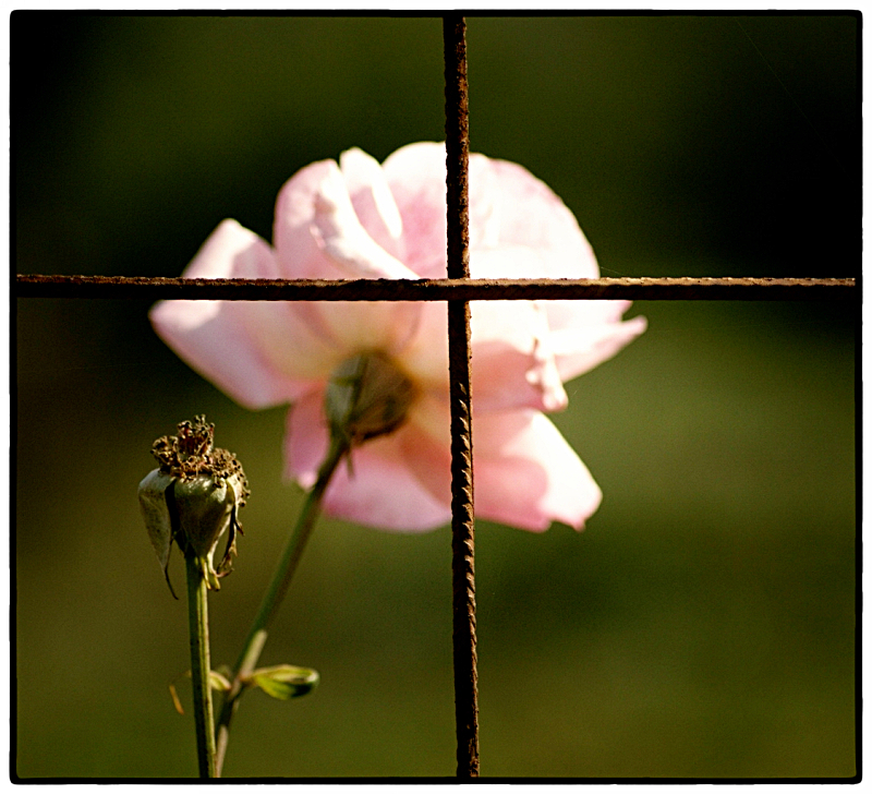 rose-and-cross